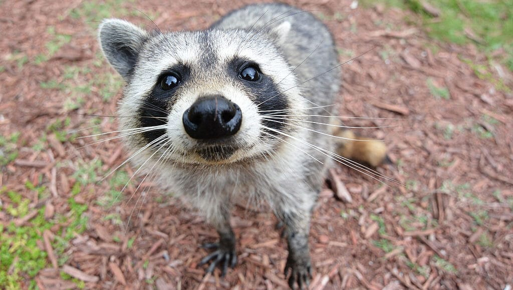 racoons are other critters are known to go into compost piles.