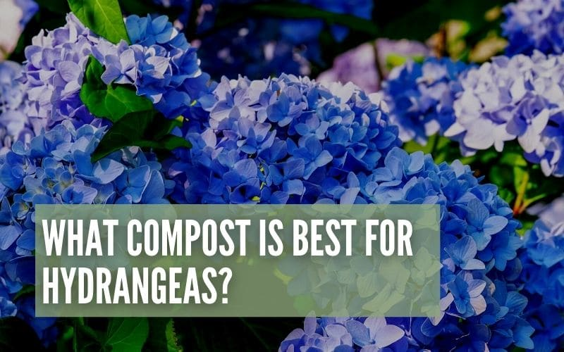 what compost is best for hydrangeas