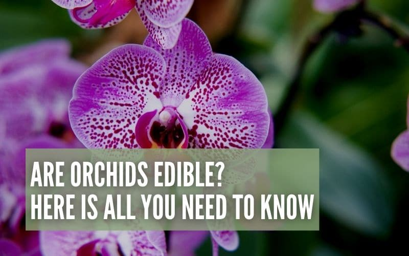 are orchids edible