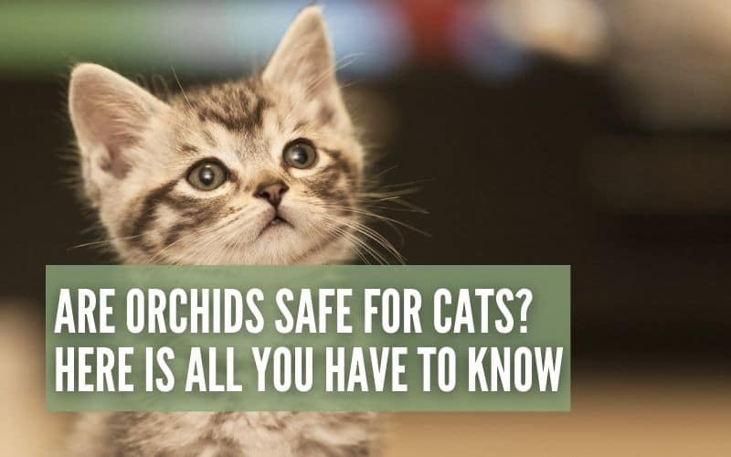 are orchids safe for cats