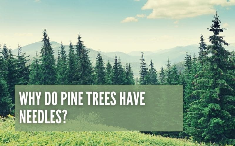 Why Do Pine Trees Have Needles?