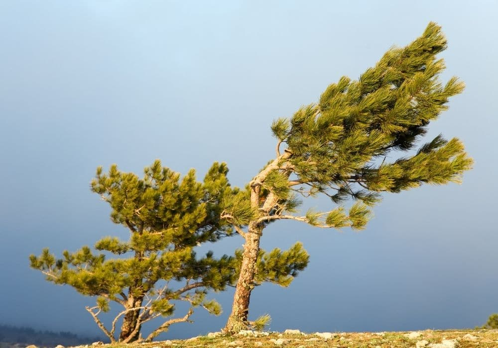 Pine Trees in the wind