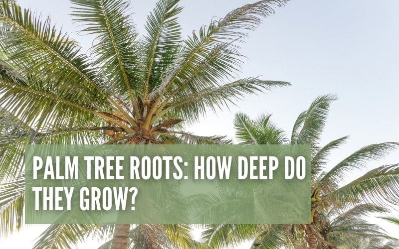 Palm Tree Roots: How Deep Do They Grow?