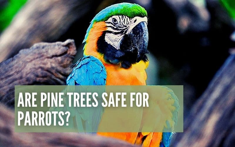 are pine trees safe for parrots