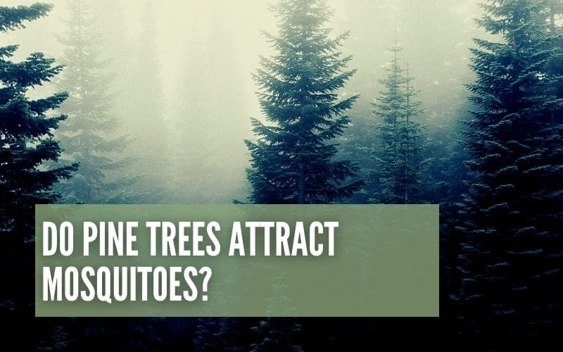 do pine trees attract mosquitoes