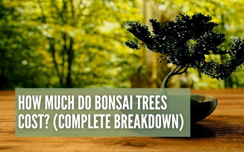 how much do bonsai trees cost