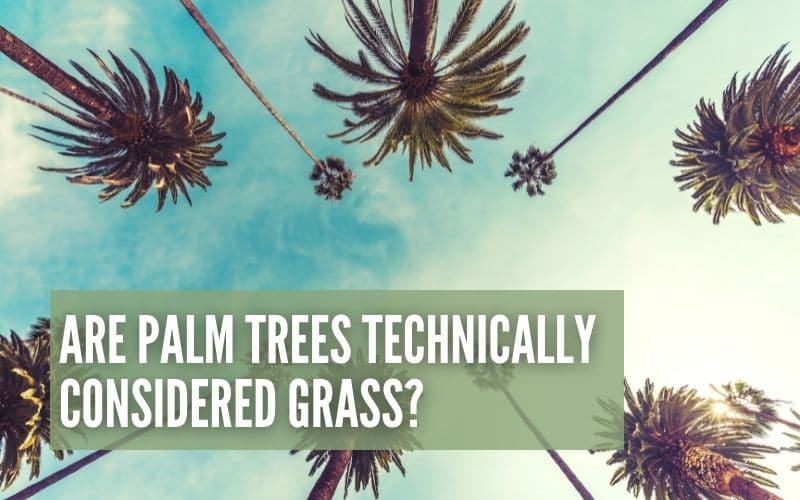 Are Palm Trees Considered Grass?