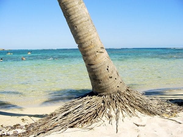 Coconut Tree Shallow Roots