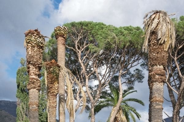 Palm Tree Pest Infection