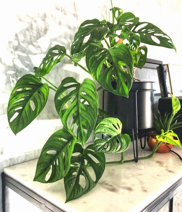 Lifted up Monstera Plant