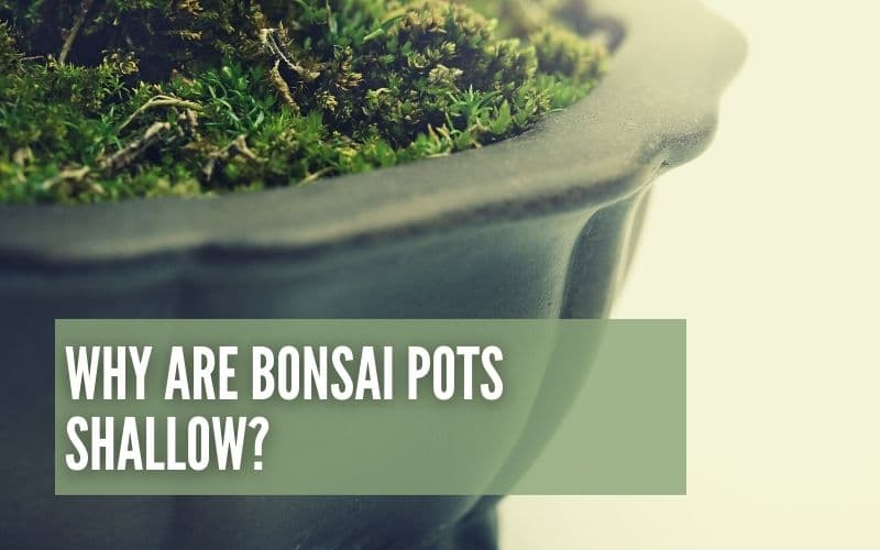 Why Are Bonsai Pots Shallow?