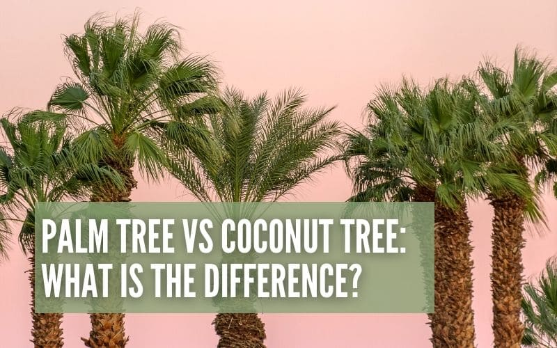 What's the difference between a palm tree and coconut tree