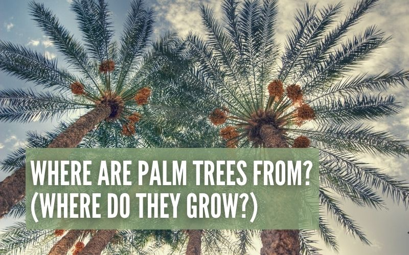 Where Are Palm Trees From?