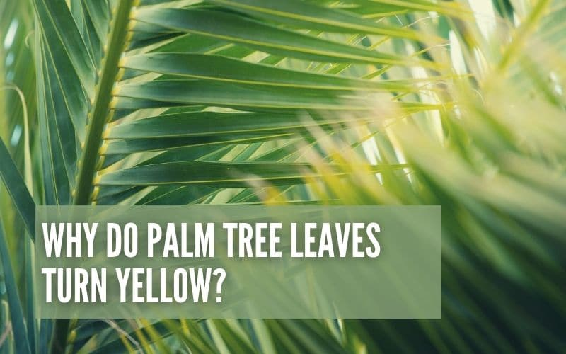 Why Do Palm Tree Leaves Turn Yellow?