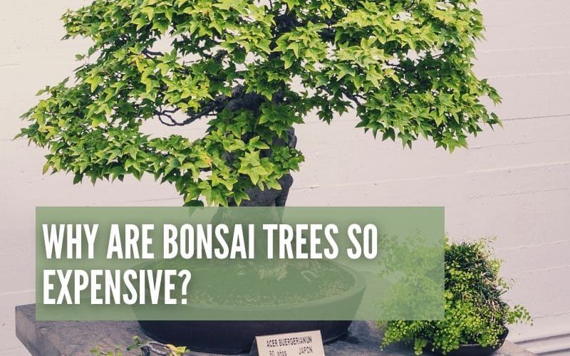 Why Are Bonsai Trees So Expensive Expensive?