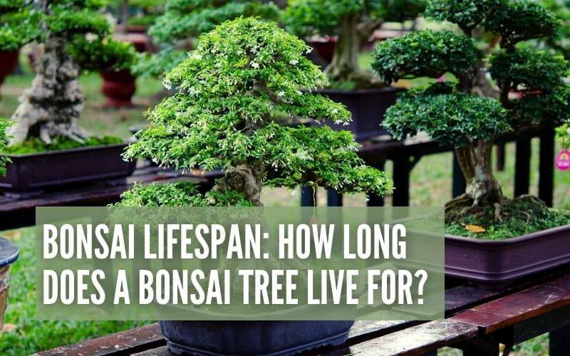How Long Can A Bonsai Tree Live For?