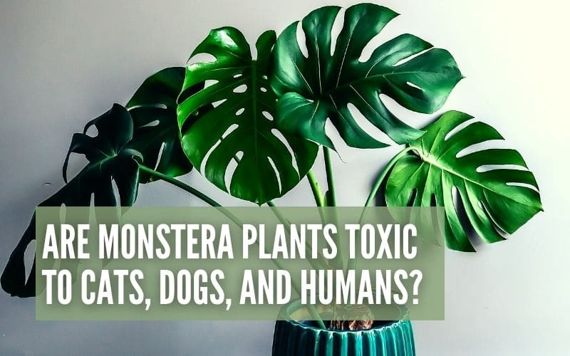 Are Monstera Plants Toxic to Cats, Dogs and Humans?