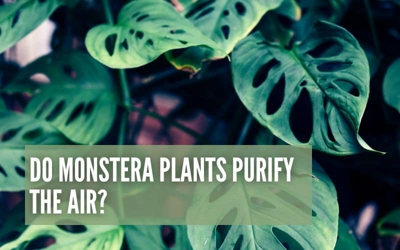 Do Monstera Plants Purify The Air?