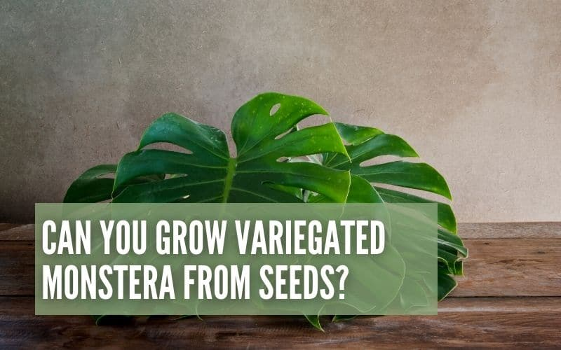 can you grow variegated monstera from seeds