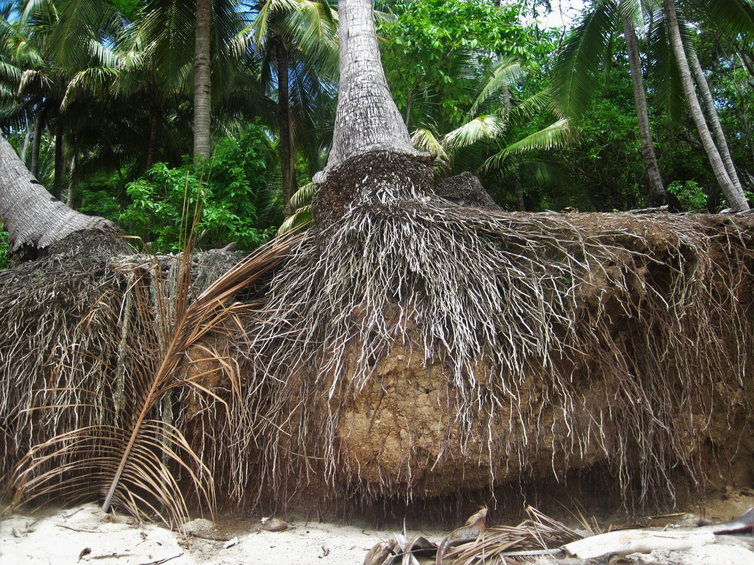Palm Tree Root System